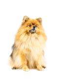 Perro de Pomeranian que busca algo aislado en el backgroun blanco Imagenes de archivo