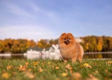 Perro de Pomeranian que camina en parque del otoño Perro hermoso y lindo imagen de archivo libre de regalías