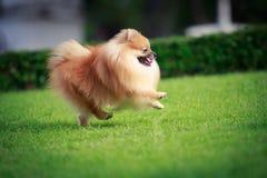 Perro de Pomeranian que corre en el césped Fotos de archivo