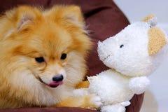 Perro de Pomeranian que lame la nariz Foto de archivo libre de regalías