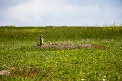 Perro de pradera en la hierba imágenes de archivo libres de regalías
