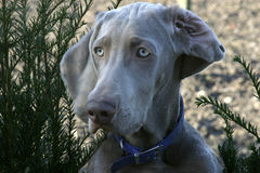 Perro de protector de Weimeraner imagenes de archivo
