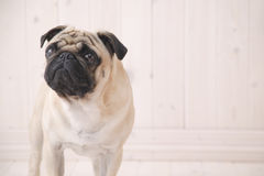 Perro de Puggy dentro de la casa Fotografía de archivo libre de regalías