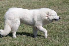 Perro de Pyrenees Fotografía de archivo