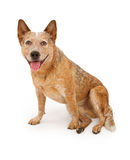 Perro de Queensland Heeler aislado en blanco Fotografía de archivo