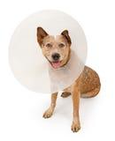 Perro de Queensland Heeler que desgasta un cono Fotografía de archivo libre de regalías