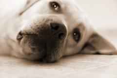 Perro de reclinación Foto de archivo libre de regalías