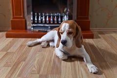 Perro de reclinación en piso de madera imagenes de archivo