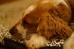 Perro de reclinaci?n del perro de aguas de saltador gal?s fotografía de archivo