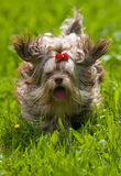 Perro de regazo del color en corrida Imágenes de archivo libres de regalías