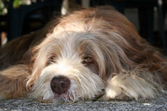 Perro de relajación Fotografía de archivo libre de regalías