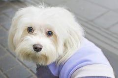 Perro de revestimiento rizado de Bichon Frise foto de archivo libre de regalías