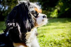 Perro de rey Charles Cavalier imagen de archivo