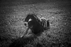Perro de rey Charles Cavalier foto de archivo