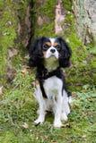 Perro de rey Charles Cavalier fotografía de archivo libre de regalías