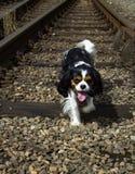 Perro de rey Charles Cavalier fotos de archivo