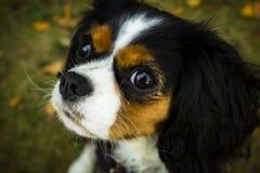 Perro de rey Charles Cavalier imágenes de archivo libres de regalías