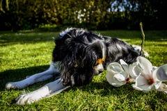 Perro de rey Charles Cavalier fotografía de archivo