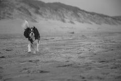 Perro de rey Charles Cavalier imagen de archivo libre de regalías