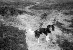 Perro de rey Charles Cavalier foto de archivo libre de regalías