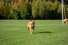 Perro de Rhodesian que corre en parque imagen de archivo libre de regalías