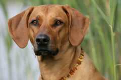 Perro de Rhodesian Ridgeback imagenes de archivo