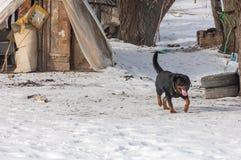 Perro de Rottweiler Imagenes de archivo