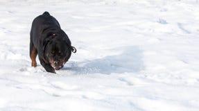 Perro de Rottweiler Fotografía de archivo libre de regalías