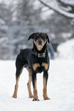 Perro de Rottweiler imágenes de archivo libres de regalías