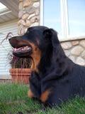 Perro de Rottweiler fotografía de archivo