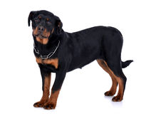 Perro de Rottweiler Imagen de archivo