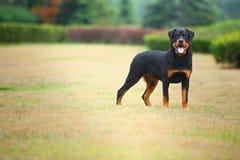 Perro de Rottweiler Imagen de archivo libre de regalías