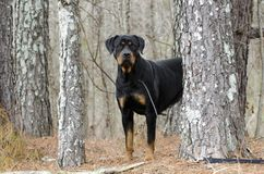 Perro de Rottweiler al aire libre en el bosque, Georgia Fotos de archivo
