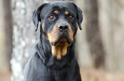 Perro de Rottweiler al aire libre en el bosque, Georgia Imagenes de archivo