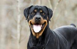 Perro de Rottweiler con la lengua del jadeo al aire libre en el bosque, Georgia Foto de archivo