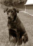 Perro de Rottweiler de la vendimia fotos de archivo