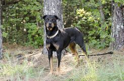 Perro de Rottweiler del alemán foto de archivo