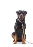 Perro de Rottweiler en cadena en blanco Imagen de archivo libre de regalías