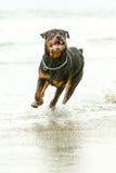 Perro de Rottweiler en el movimiento Imágenes de archivo libres de regalías