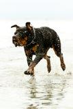 Perro de Rottweiler en el movimiento Fotos de archivo libres de regalías