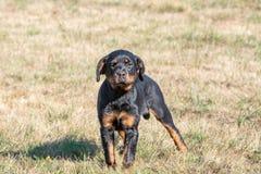 Perro de Rottweiler en la hierba verde al aire libre Foco selectivo en t foto de archivo libre de regalías