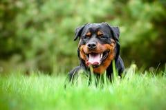Perro de Rottweiler que descansa sobre la hierba fotos de archivo libres de regalías