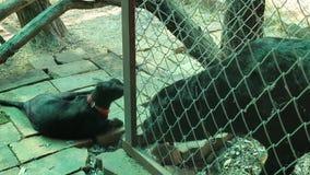 Perro de Rottweiler que juega con el gato siamés negro almacen de metraje de vídeo