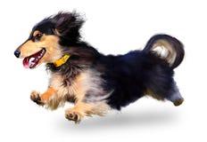 Perro de salchicha Imagen de archivo libre de regalías