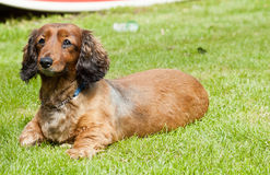 perro de salchicha alerta Fotos de archivo libres de regalías