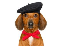 Perro de salchicha francés foto de archivo