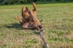 Perro de salchicha hermoso que juega con su correo en la hierba fotos de archivo