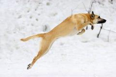 Perro de salto imagen de archivo libre de regalías