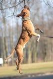 Perro de salto Fotografía de archivo libre de regalías