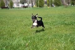 Perro de salto de la chihuahua Fotos de archivo